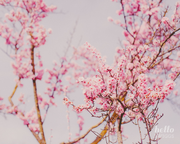 Spring Pink Blossoms