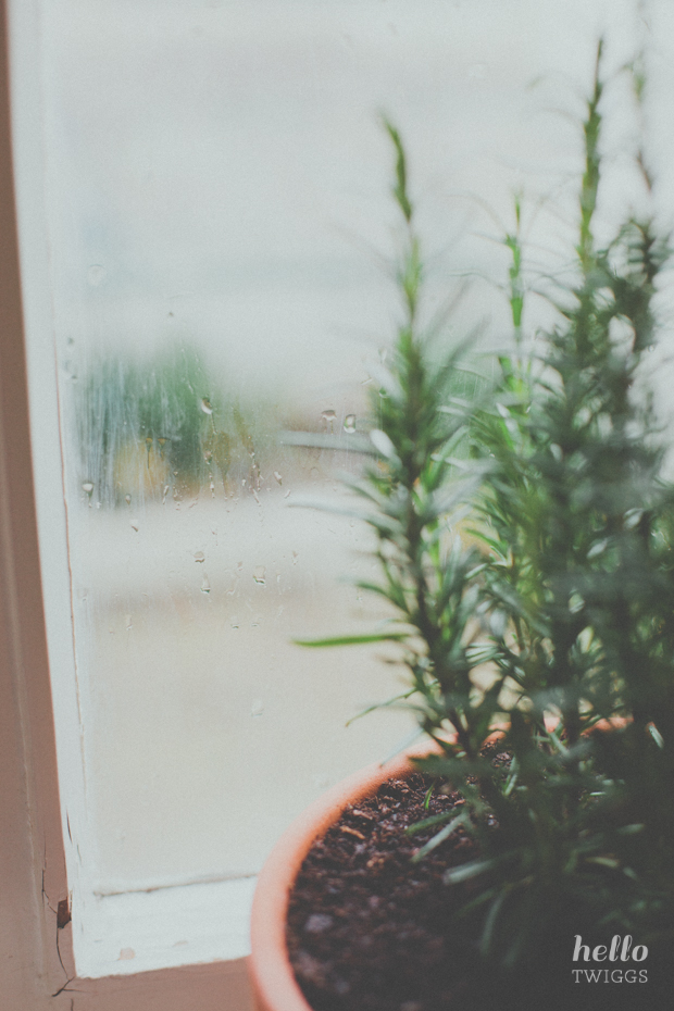 Rosemary by the window sill during rainy day