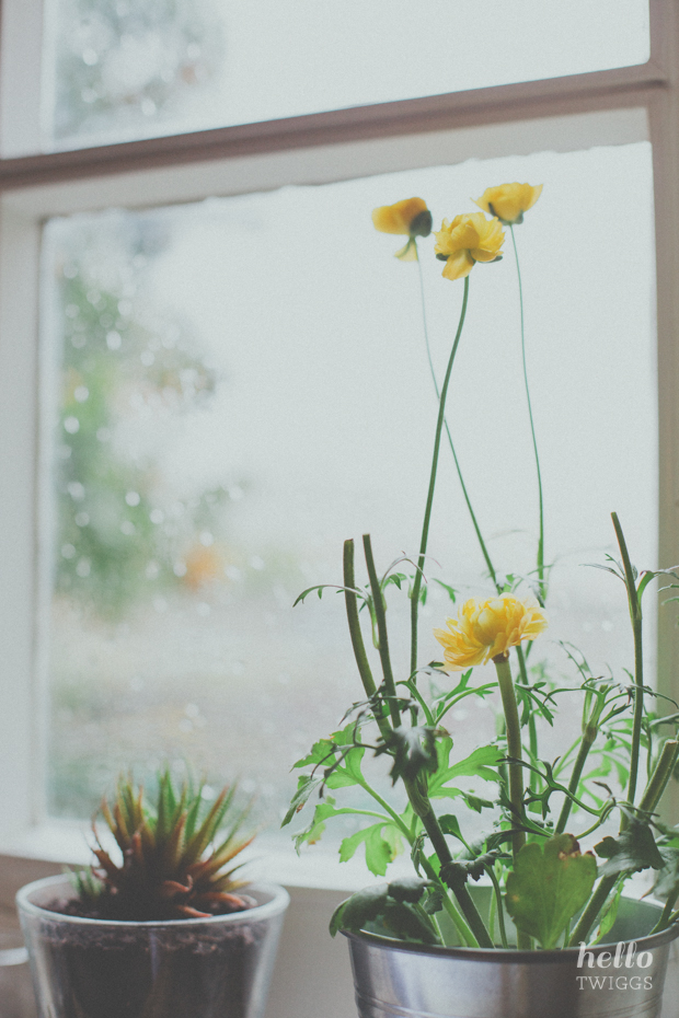 Ranunculus by the window sill during rainy day
