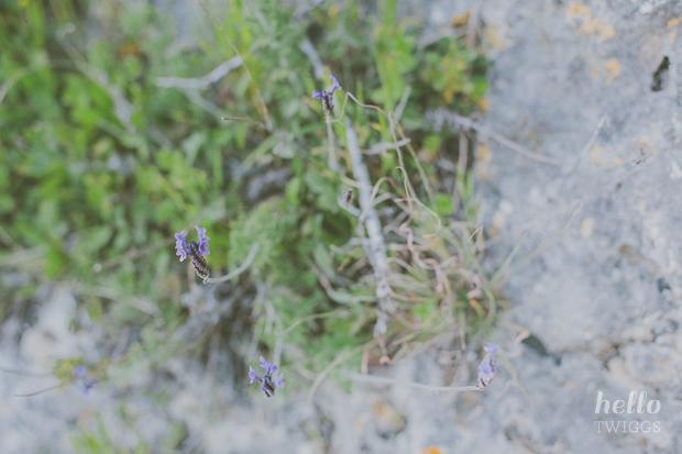 Wild lavender