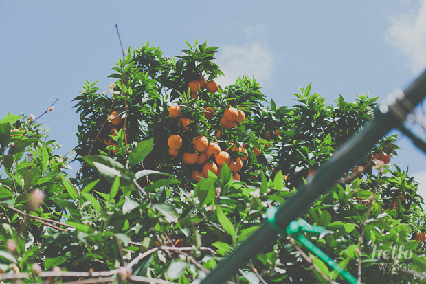 Orange tree filled with oranges