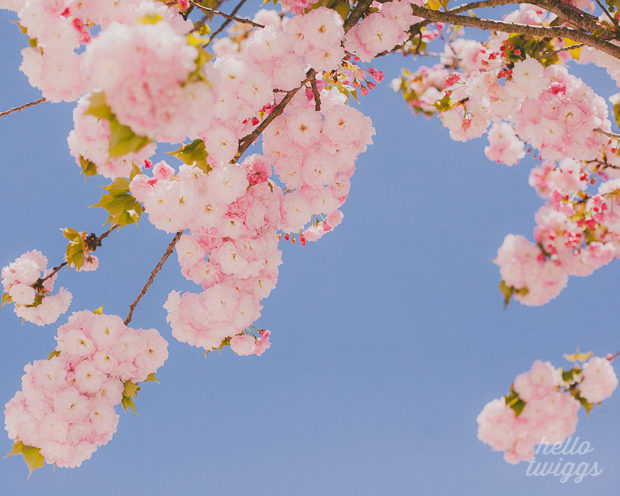 Cherry Blossoms Fine Art Print