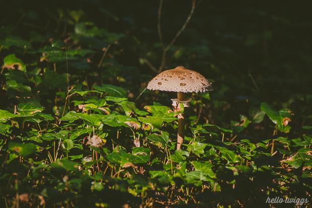 Lepiota Mushroom