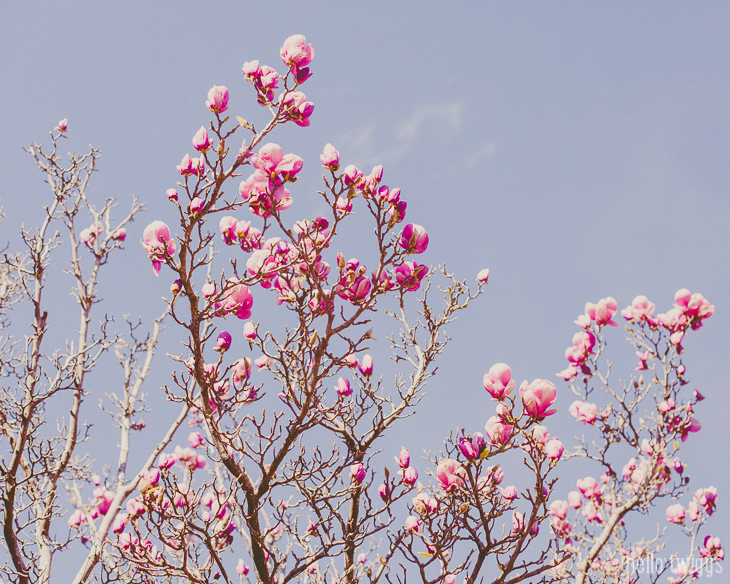 Árvore de Magnólias Rosa Lisboa