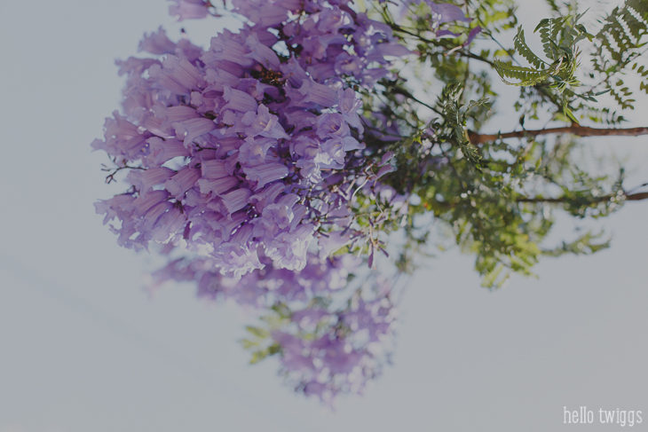 simple things :: jacaranda season